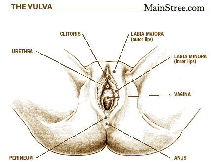 The Vulva of women
